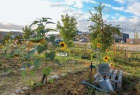 Tournesols plantés dans le jardin partagé.