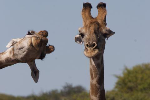 Deux girafes, l'une cadrée sur son cou et sa tête, l'autre n'a que la tête qui apparaît, penchée, sur la gauche du cadre.