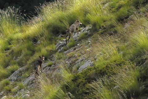Extrait du film documentaire : deux loups montent un versant de montagne. Au milieu des herbes, l'un d'eux regarde en direction de l'objectif.