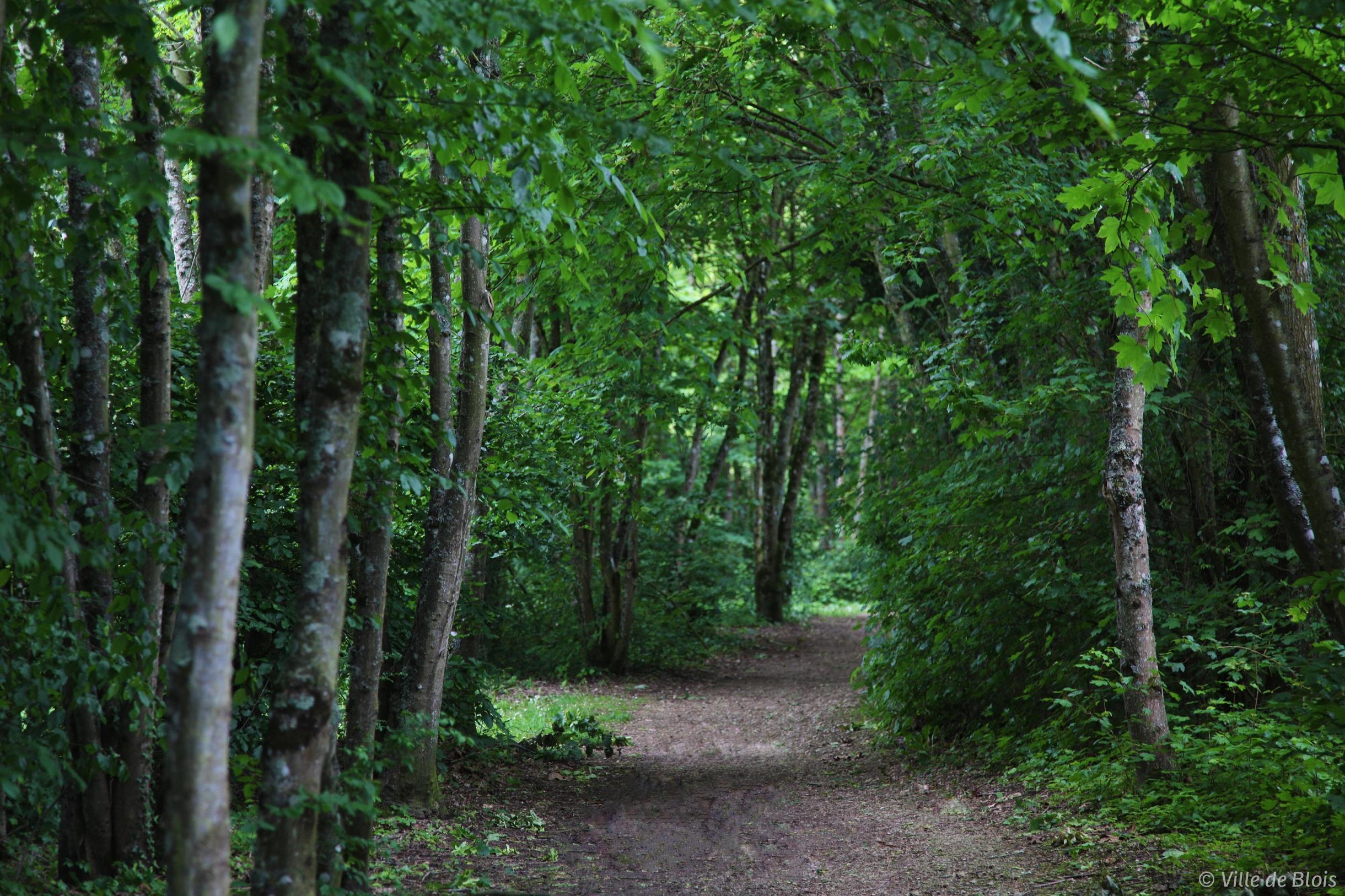 Chemin dégagé sous les arbres de la Forêt de Blois.