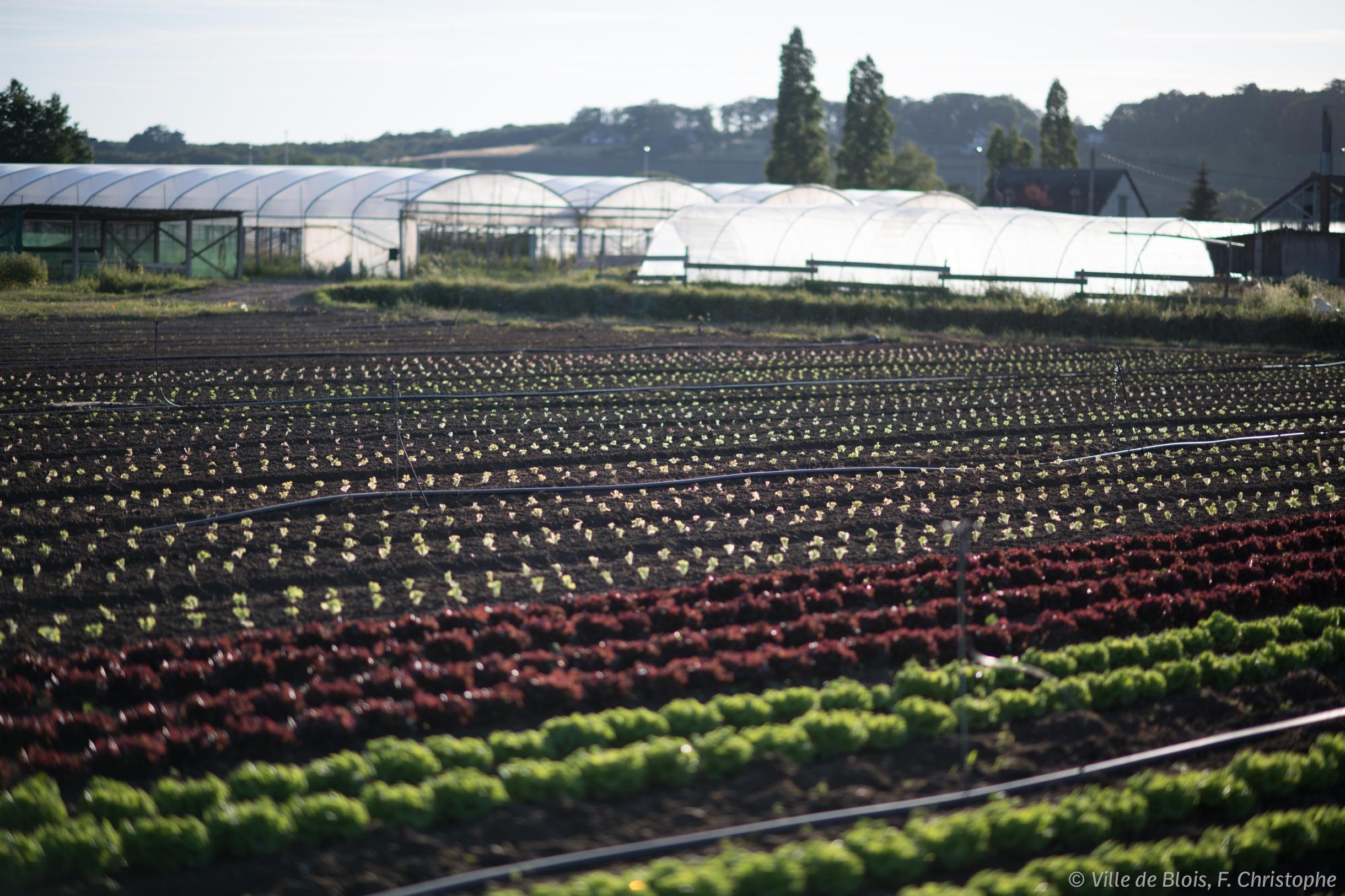 Terrains d'agriculture biologique où des légumes poussent, avec des serres en arrière-plan.
