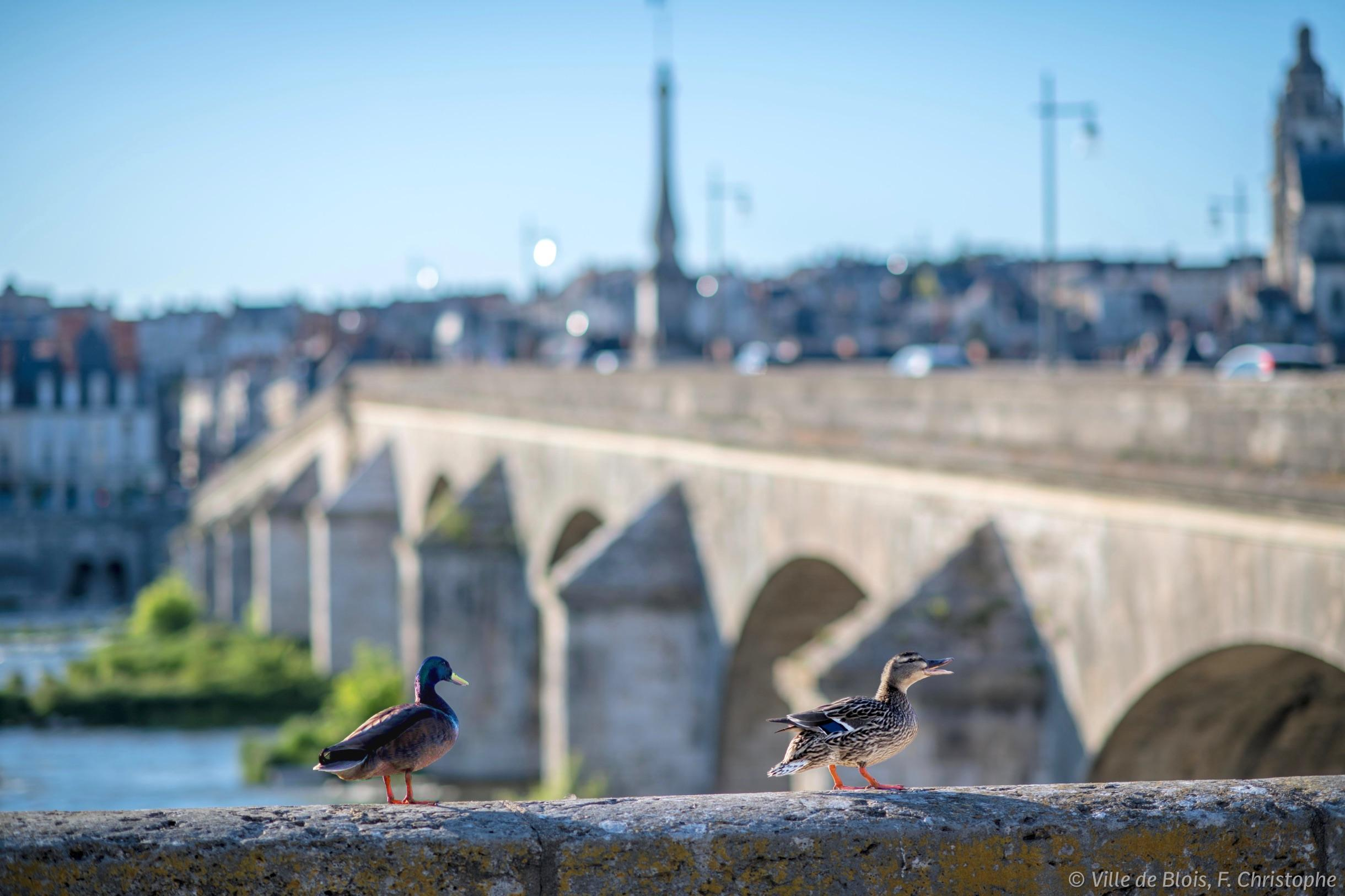 Deux canards se baladent sur une bordure des quais de la Loire, avec le pont Jacques-Gabriel et le nord de la ville en arrière-plan.